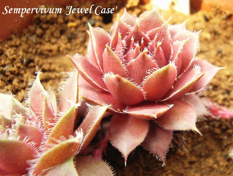 Sempervivum  'Jewel Case'