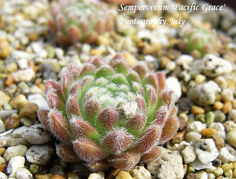 Sempervivum  'Pacific Grace'