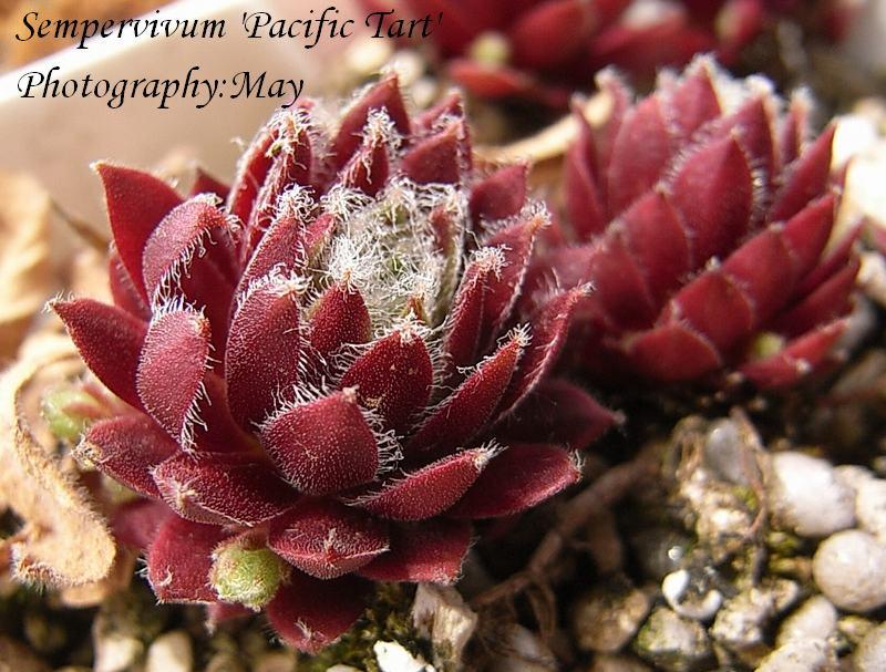 Sempervivum  'Pacific Tart'