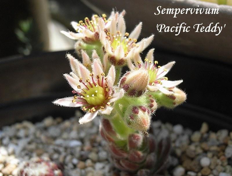 Sempervivum  'Pacific Teddy' flower