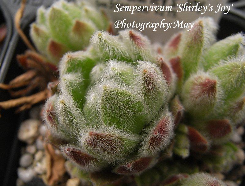 Sempervivum  'Shirley's Joy'
