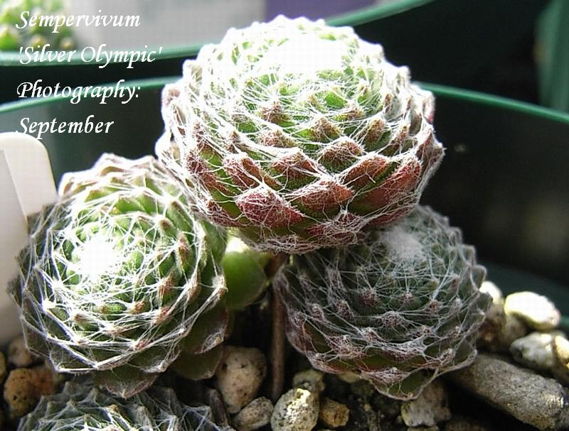 Sempervivum  'Silver Olympic'