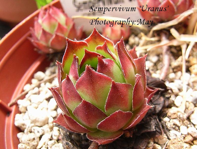 Sempervivum  'Uranus'