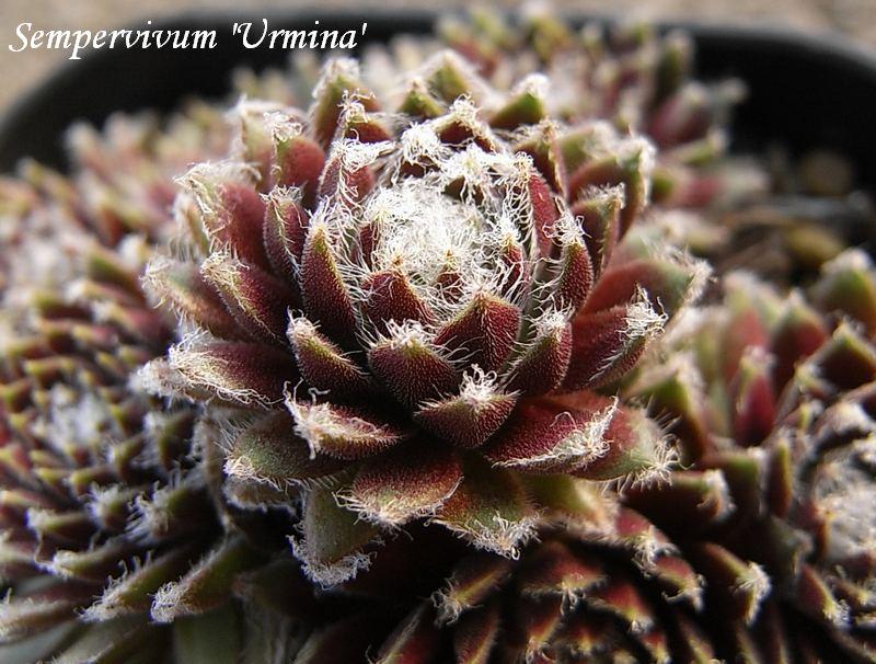 Sempervivum  'Urmina'