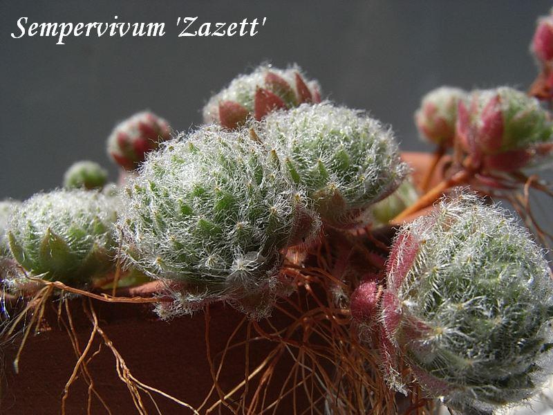 Sempervivum  'Zazett'