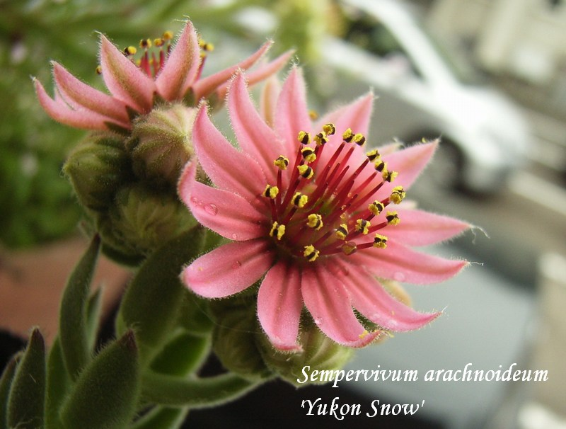 Sempervivum arachnoideum 'Yukon Snow' flower