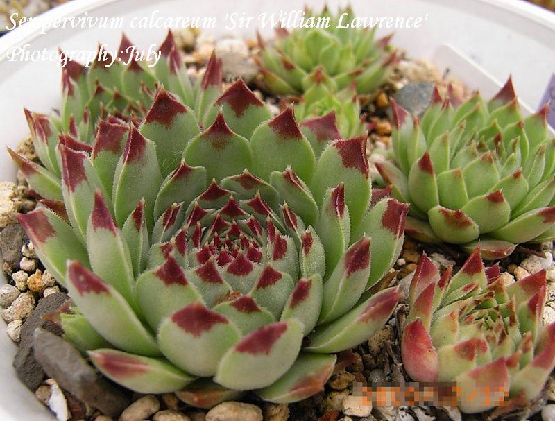Sempervivum calcareum 'Sir W Lawrence'