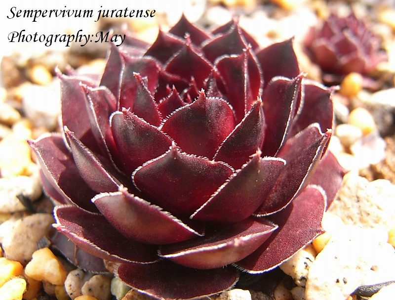 Sempervivum juratense