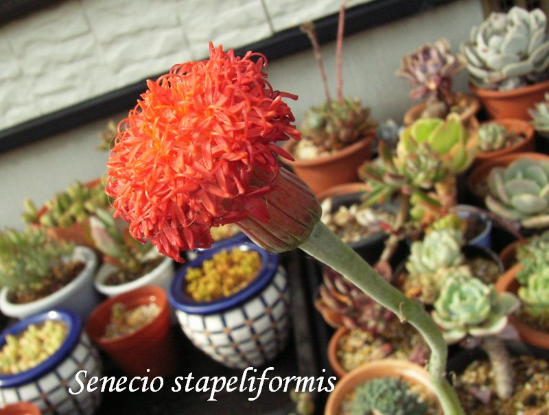 Senecio stapeliformis flower