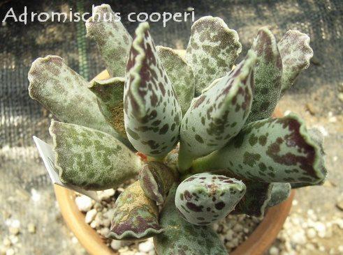 Adromischus cooperi