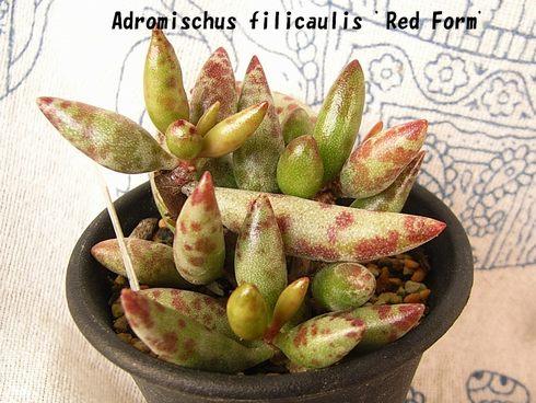Adromischus filicaulis Red form