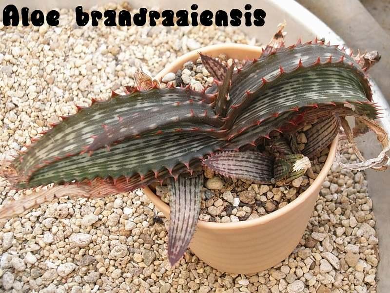 Aloe brandraaiensis