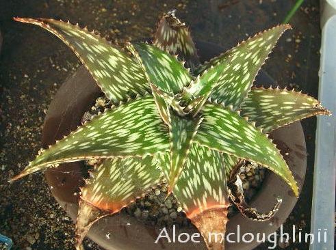 Aloe mcloughlinii