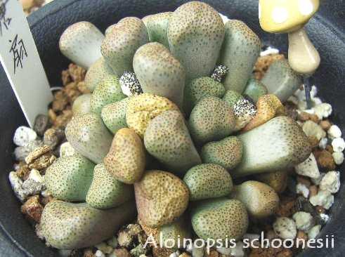Aloinopsis schoonesii