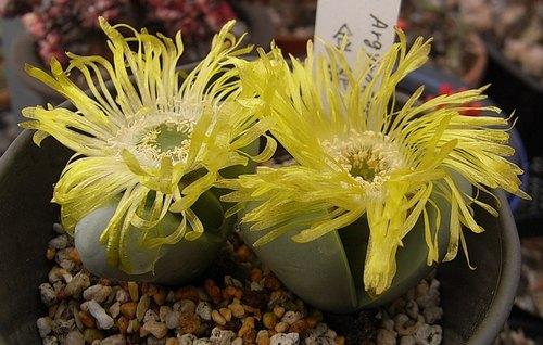 Argyroderma roseum var. delaetii