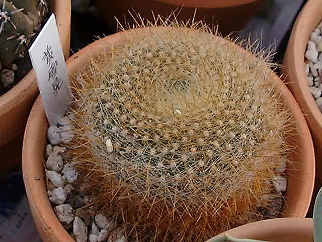 Brasilicactus graessneri