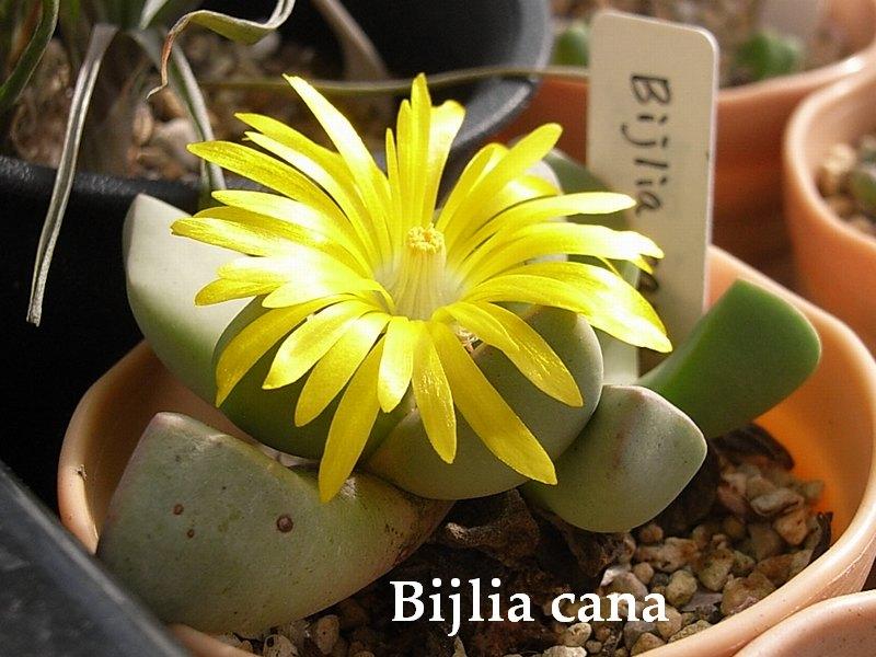 Bijlia cana