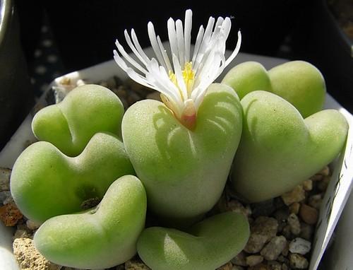 Conophytum concavum