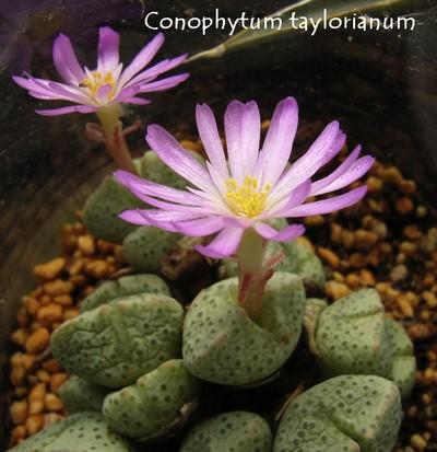 Conophytum taylorianum