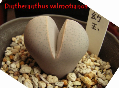 Dintheranthus wilmotianus