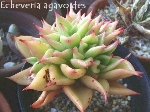 Echeveria agavoides の写真