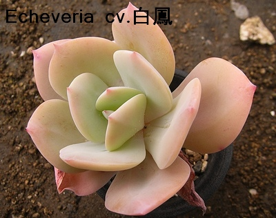 Echeveria cv. HAKUHOU