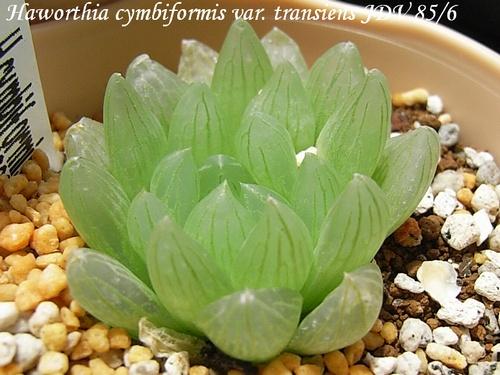 Haworthia cymbiformis var. transiens
