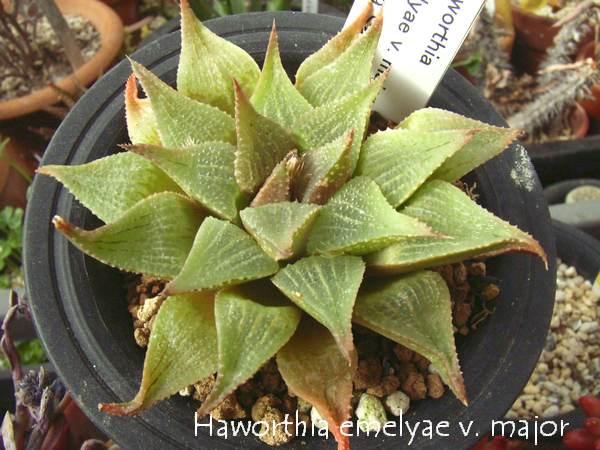 Haworthia emelyae var. major