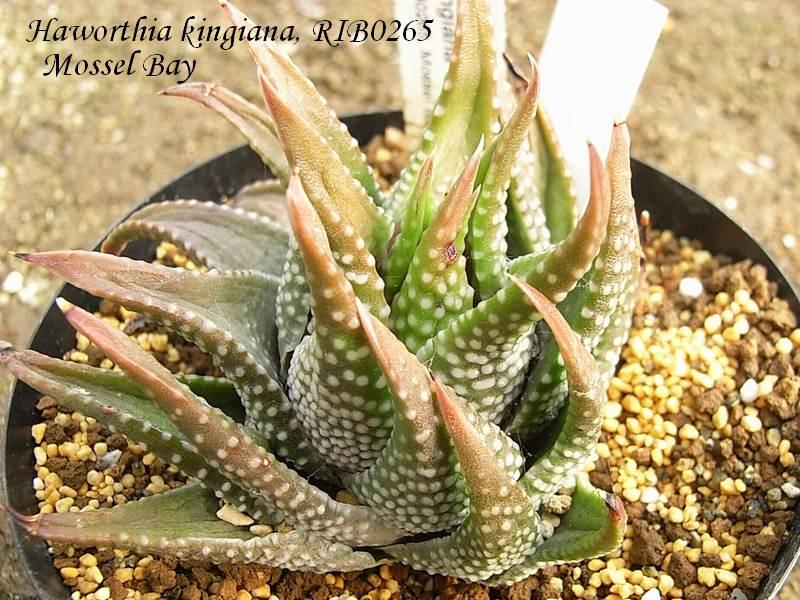 Haworthia kingiana