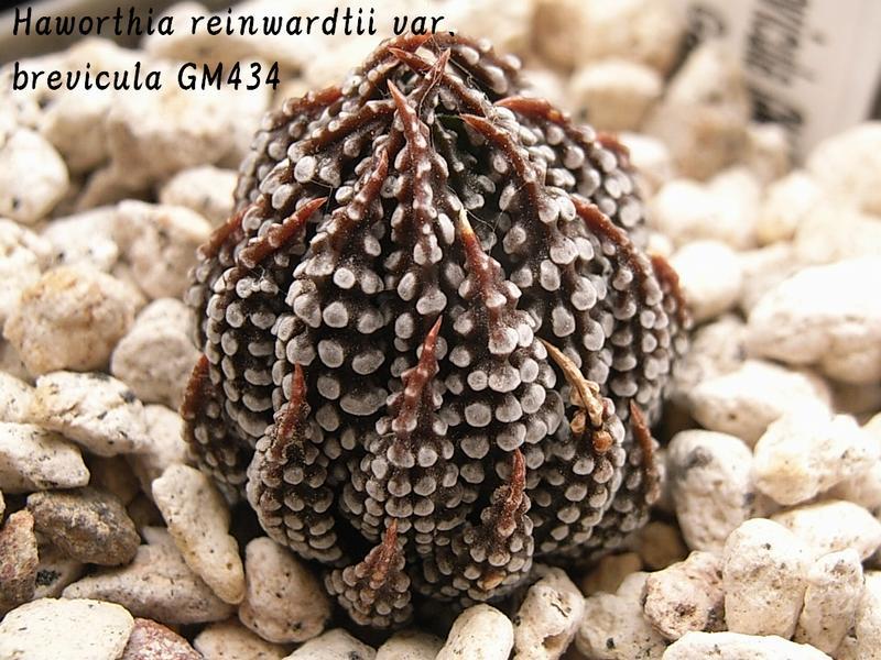 Haworthia reinwardtii var. brevicula