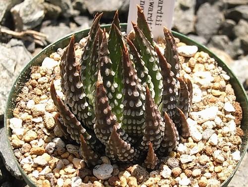 Haworthia reinwardtii var. chalmnensis