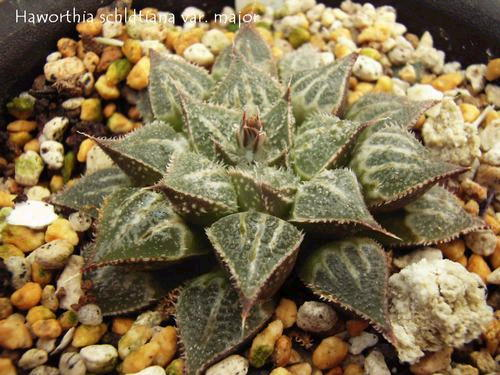 Haworthia schldtiana var. major