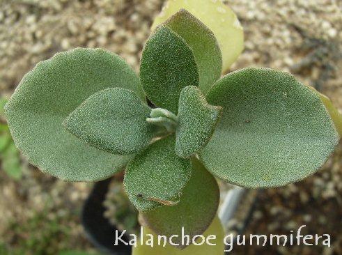 Kalanchoe gummifera