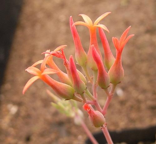 Kalanchoe rotundifolia flower