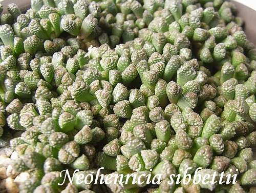 Neohenricia sibbettii