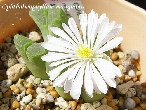Ophthalmophyllum maughanii