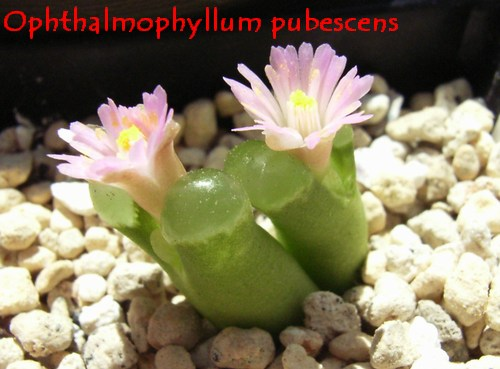 Ophthalmophyllum pubescens