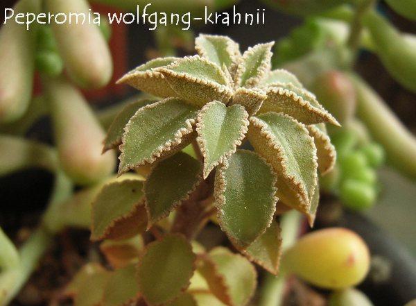 Peperomia wolfgang-krahnii