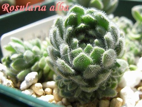 Rosularia alba