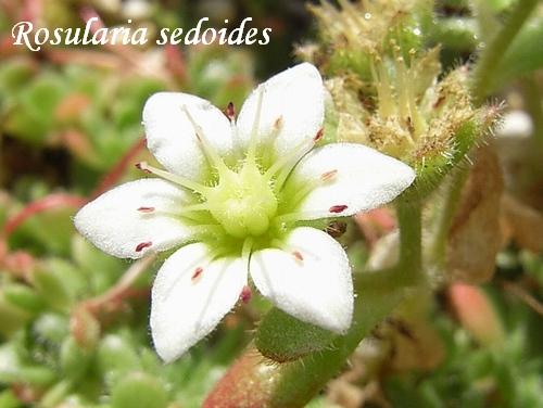 Rosularia sedoides flower