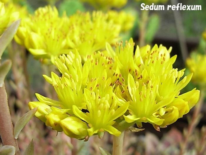 Sedum reflexum flower