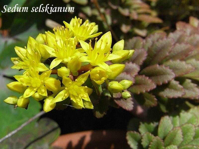 Sedum selskianum flower