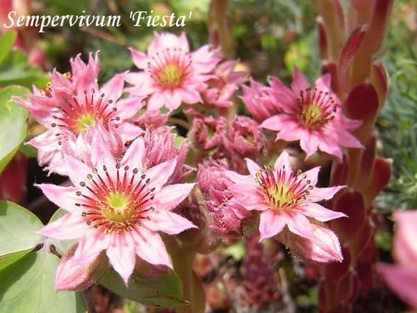 Sempervivum  'Fiesta' flower