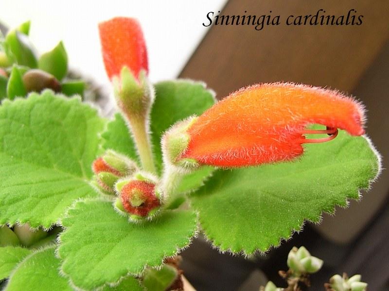 Sinningia cardinalis