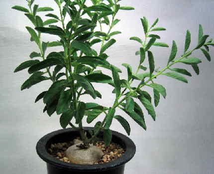 Brachystelma circinatum