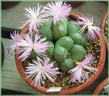 Conophytum ficiforme f. Yaegakihime