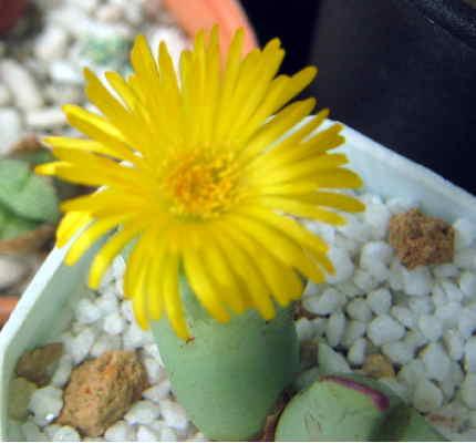 Conophytum lavisianum flower
