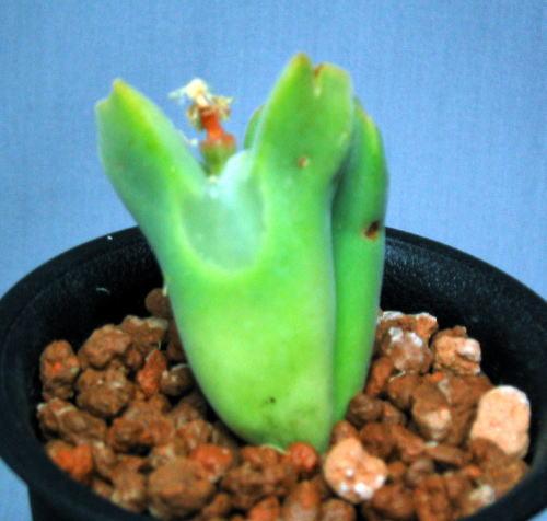 Conophytum regale