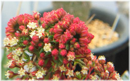 Crassula  'Kimnachii' flower