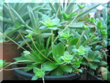 Crassula orbiculata